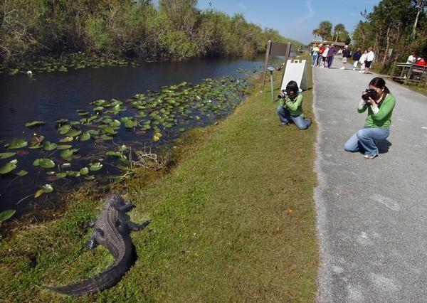 gators and local life riding through everglades